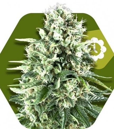 Super Silver Haze Autoflowering (Zambeza Seeds)