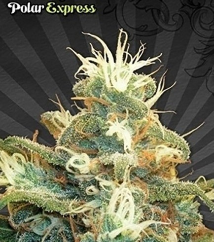 Polar Express (Auto Seeds)
