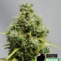 Big Bomb (Bomb Seeds)