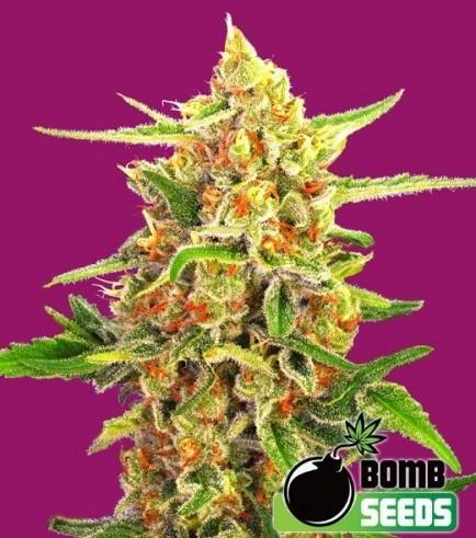 Cherry Bomb (Bomb Seeds)