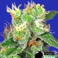 Medi Bomb 2 (Bomb Seeds)