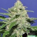 Widow Bomb (Bomb Seeds)