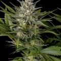 Pineapple Skunk (Humboldt Seeds)