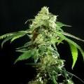 Cannatonic (Resin Seeds)