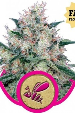 Honey Cream - Fast Flowering