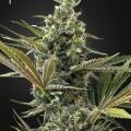 Super Lemon Haze Auto CBD (Greenhouse Seeds)