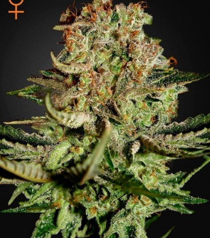 Super Bud (Greenhouse Seeds)