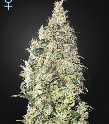 Great White Shark CBD (Greenhouse Seeds)