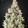 Exodus Cheese Auto CBD (Greenhouse Seeds)