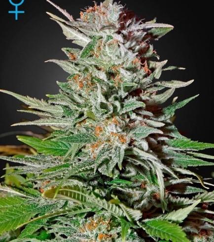 Super Lemon Haze Autoflowering (Greenhouse Seeds)