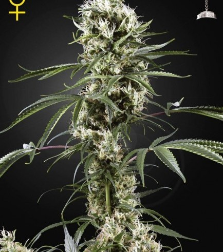 Super Lemon Haze (Greenhouse Seeds)