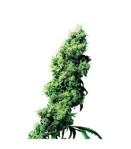 Four-Way (Sensi Seeds)