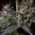 Sweet Purple (Paradise Seeds)