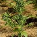 Automaria II (Paradise Seeds)