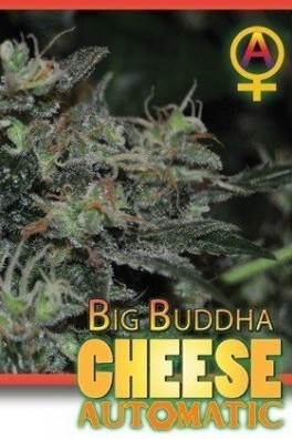 Big Buddha Cheese Autoflowering