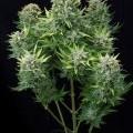 White Cheese Autoflowering (Dinafem)