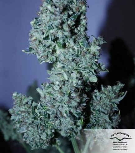 AutoBlueberry (Dutch Passion)