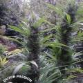 Passion 1 (Dutch Passion)