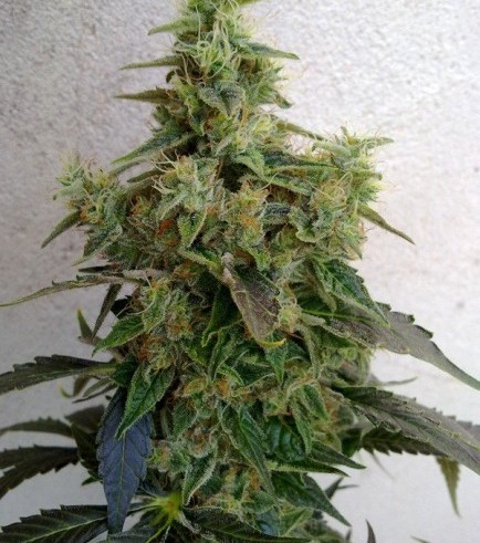 Dieseltonic (Resin Seeds)