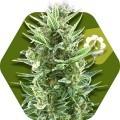 Vanilla Ice Autoflowering (Zambeza Seeds)