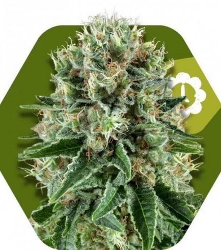 OG Bubble Gum Autoflowering (Zambeza Seeds)