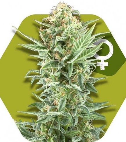 Power Kush (Zambeza Seeds)