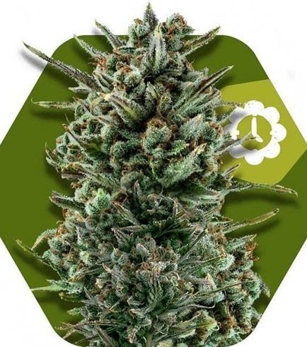 Amnesia Haze XL Autoflowering (Zambeza Seeds)