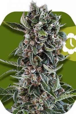 Blueberry Cheese Autoflowering
