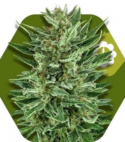 White Cheese Autoflowering (Zambeza Seeds)