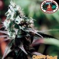 Cheese Dawg (Big Buddha Seeds)