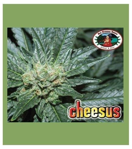 Cheesus (Big Buddha Seeds)