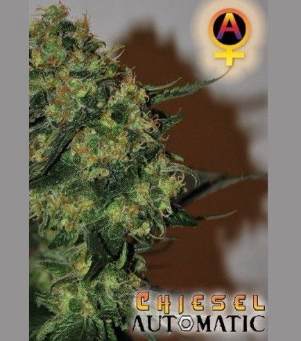 Chiesel Automatic (Big Buddha Seeds)
