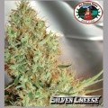 Silver Cheese (Big Buddha Seeds)