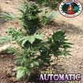 Super Automatic Sativa S.A.S. (Big Buddha Seeds)