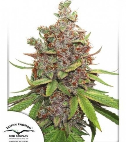 Auto Glueberry O.G. (Dutch Passion)
