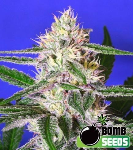 Edam Bomb (Bomb Seeds)