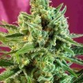 S.A.D. Sweet Afgani Delicious CBD (Sweet Seeds)