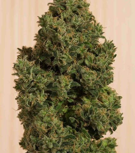 Blue Dream CBD (Humboldt Seeds)