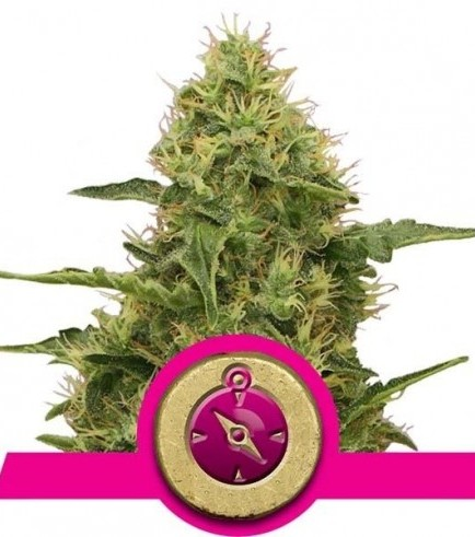 Northern Light (Royal Queen Seeds)