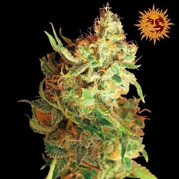 Red dragon марихуана барт марихуана
