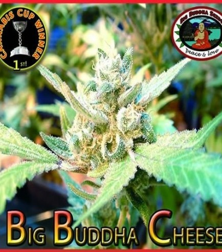 Big Buddha Cheese (Big Buddha Seeds)