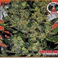 Critical Mass Automatic (Big Buddha Seeds)