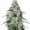 Pulsar (Buddha Seeds)