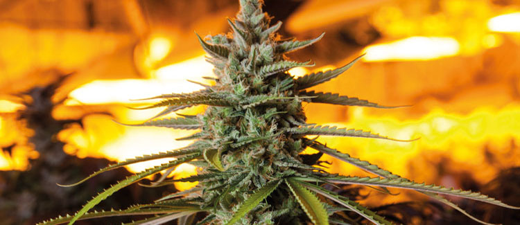 Was bedeutet die photoperiode für cannabisanbauer?