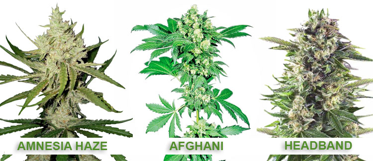 Geraniol-rich cannabis strains