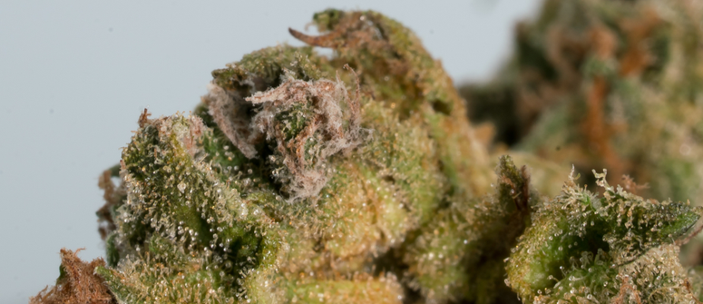 La marijuana ammuffita è tossica?