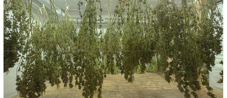 Comment sécher et affiner vos têtes de cannabis