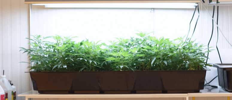 Cómo cultivar marihuana con un sistema dwc