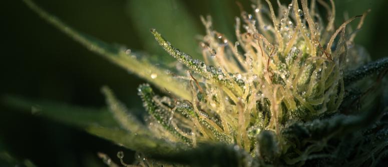 Requisitos lumínicos de las plantas de marihuana durante la floración