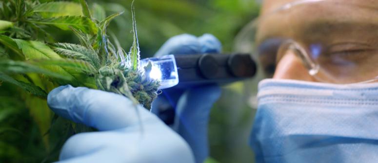 I 10 cannabinoidi più importanti della cannabis